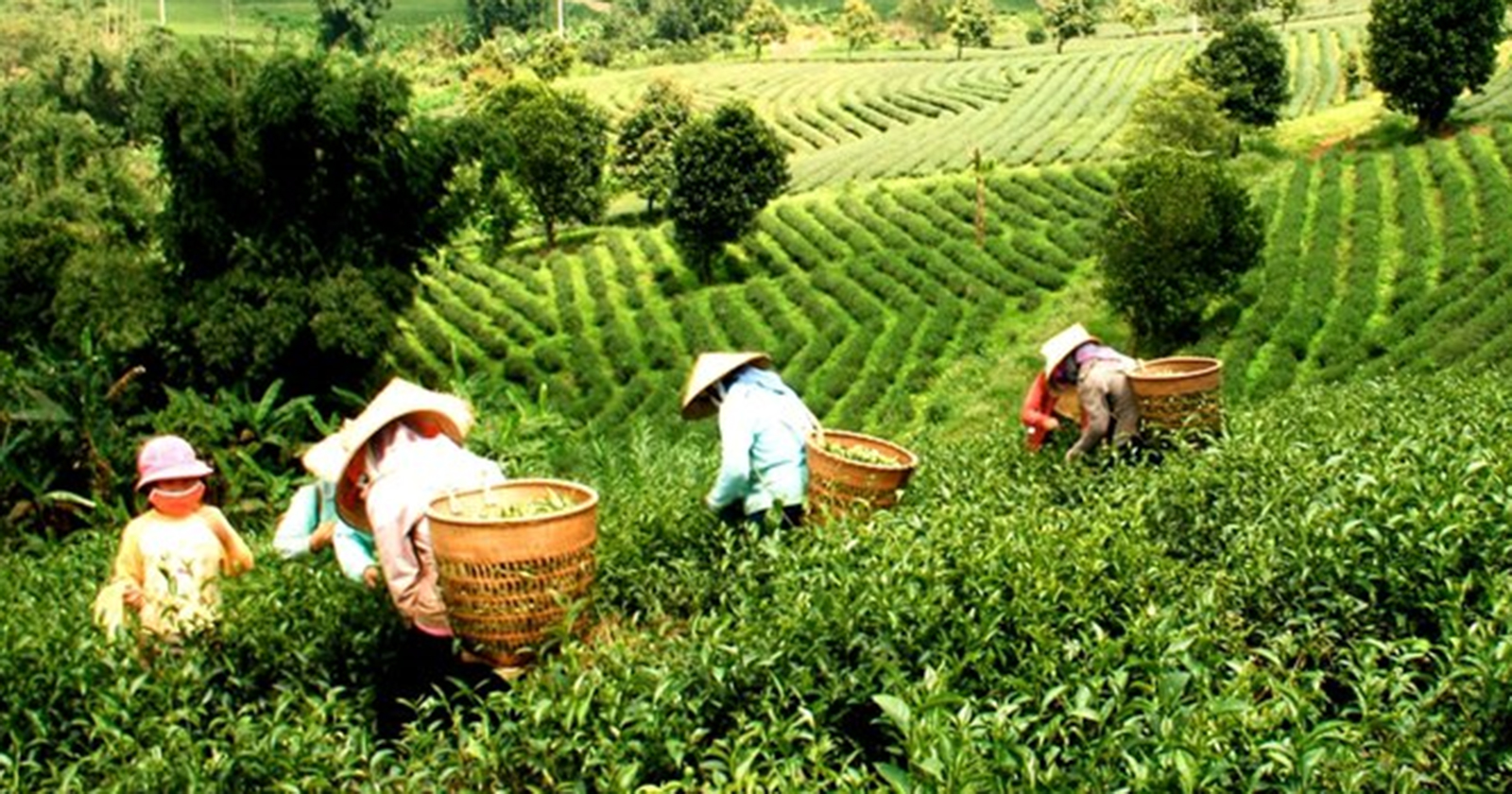 <div>Vietnam is not only famous by Rice but also we are in top countries for Coffee & Green Tea</div>